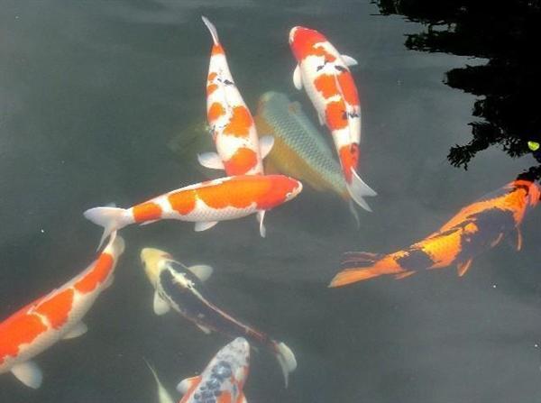 观赏冷水鱼图片图片 观赏冷水鱼图片图片下载